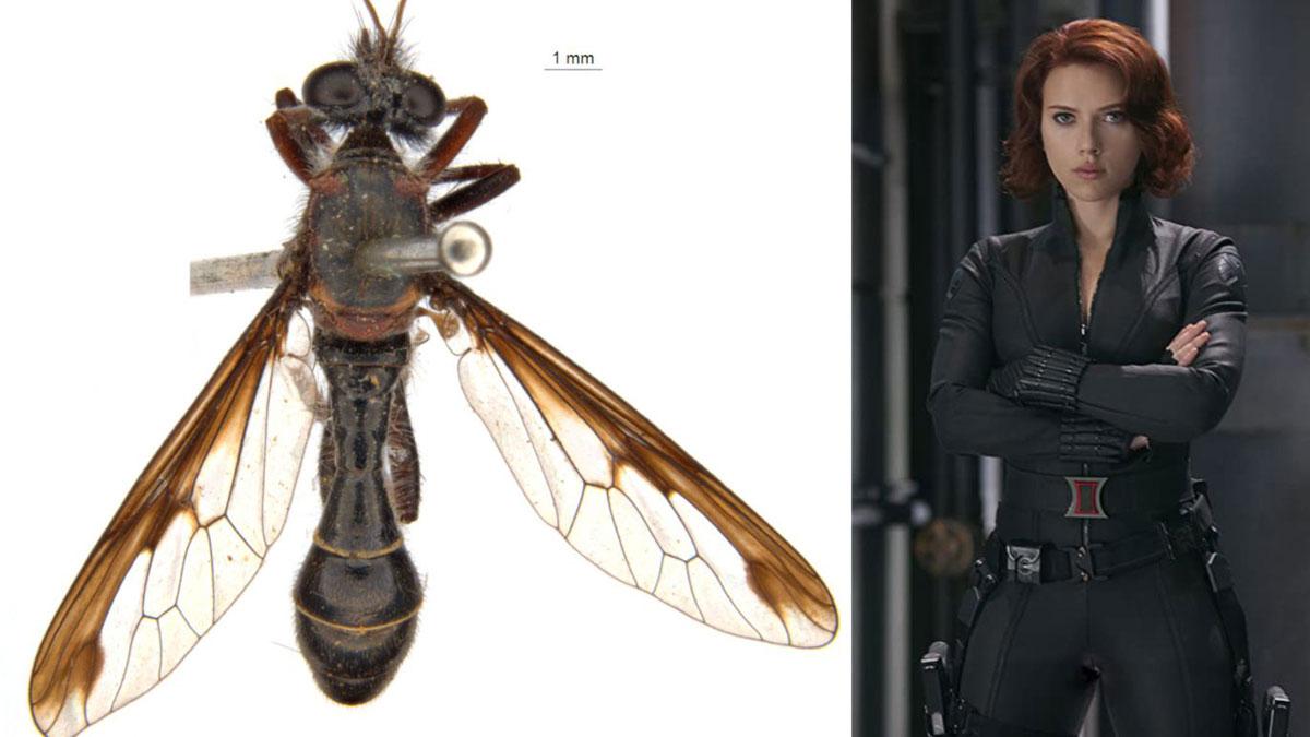 La mosca Black Widow