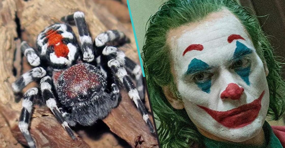 Descubren una nueva araña y le ponen Joaquin Phoenix por su parecido al Joker