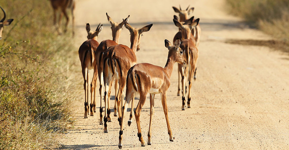 gacelas-cazadores-furtivos