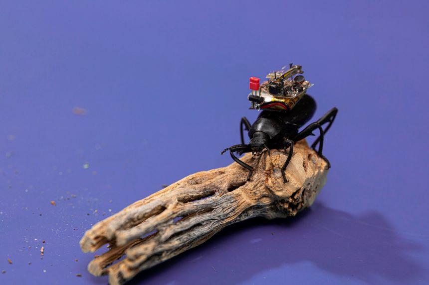 Insectos espía: Microsoft financia el desarrollo de una 'GoPro' para escarabajos