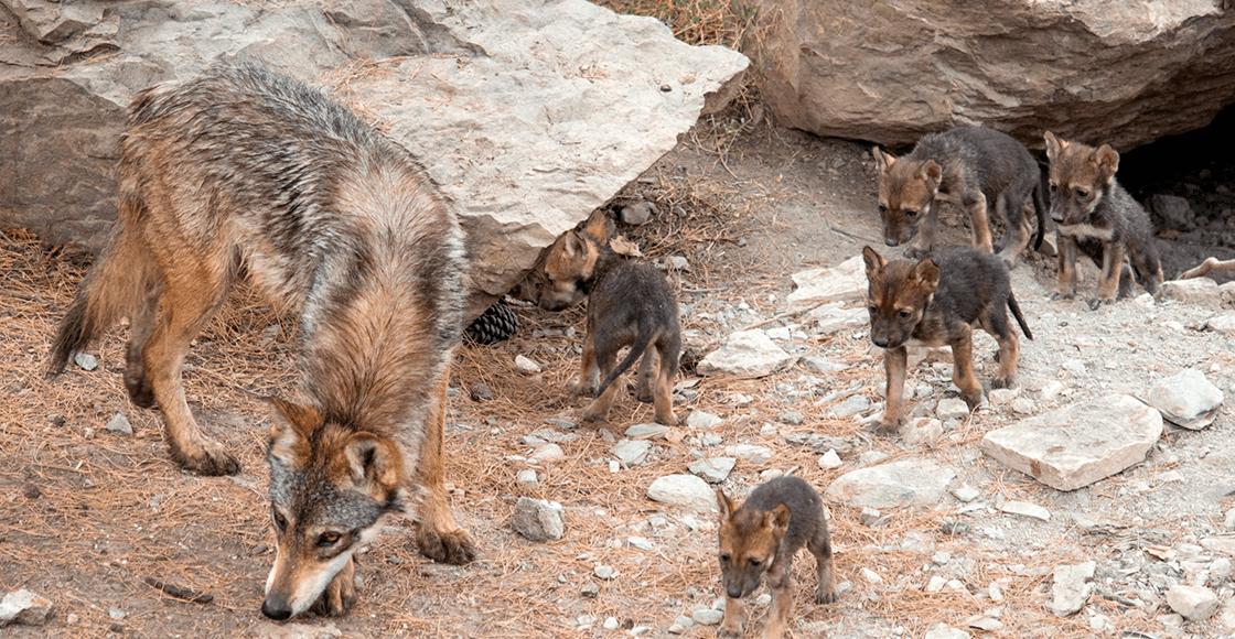¡Enhorabuena! Nacen ocho cachorros de lobo gris mexicano en Coahuila