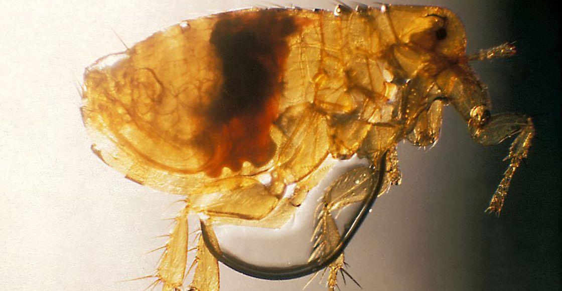 peste-pulga
