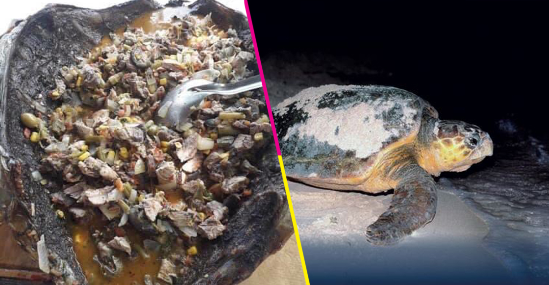 tortuga-caguama-bcs-regidora