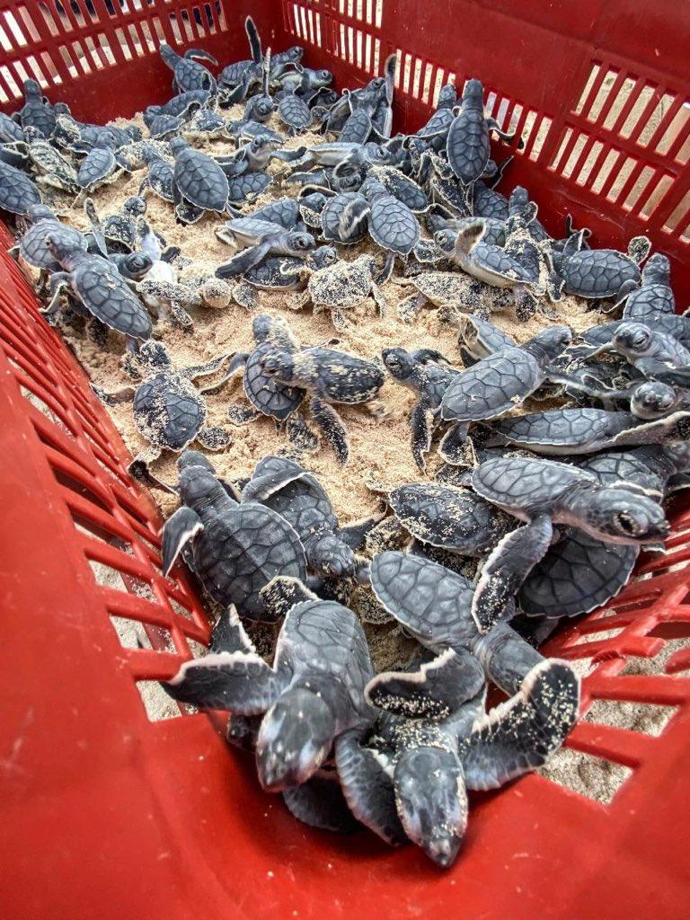 tortugas-cozumel-nidos-mexico
