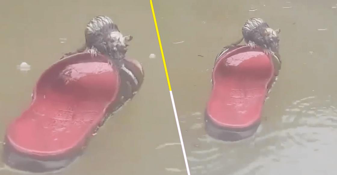 Esta es la verdadera historia de la rata que se salvó de morir ahogada gracias a una chancla