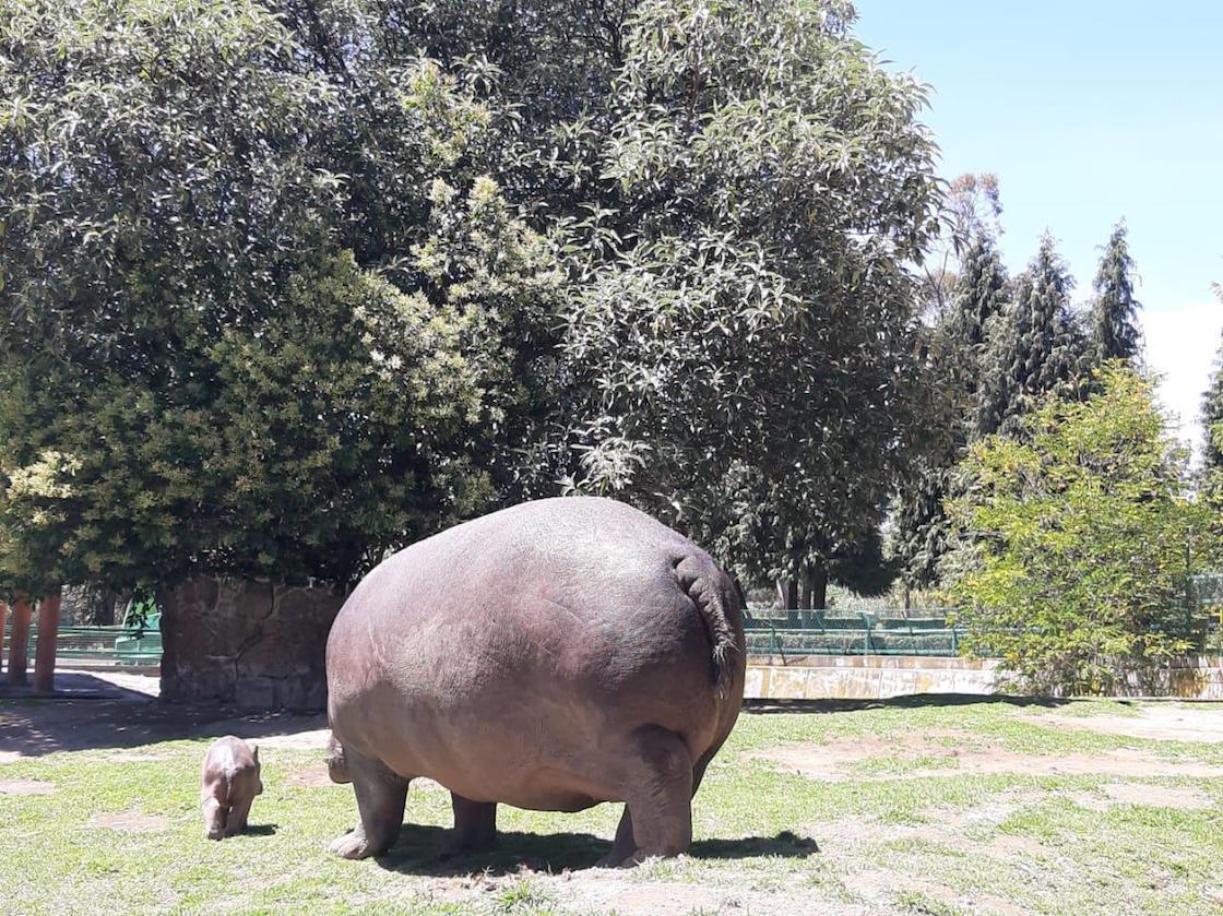 zoologico-de-zacango-estado-de-mexico-hipopotamo-cria