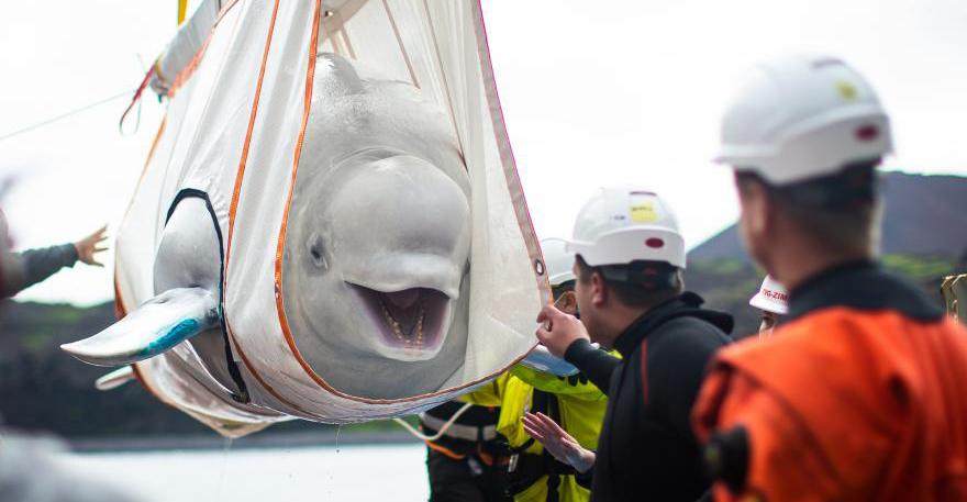Dos hermosas belugas sonríen al ser rescatadas después de años en cautiverio