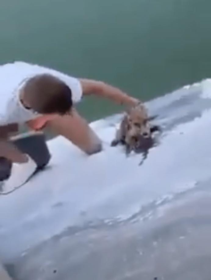 Joven se arriesga y salva a un pequeño zorro de morir ahogado