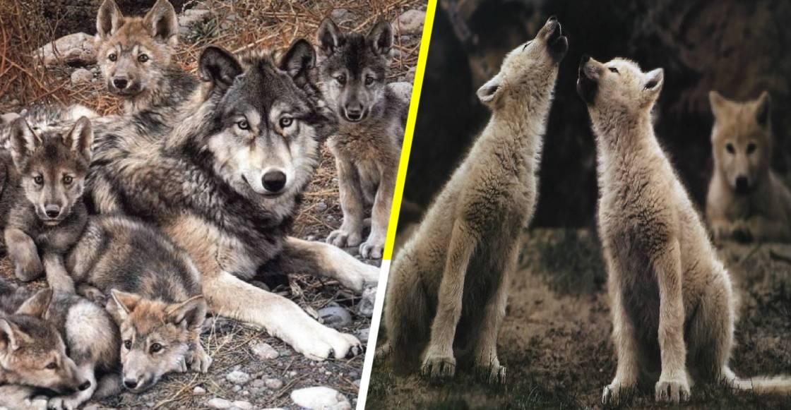 ¡Awwww! El lobo mexicano se sigue reproduciendo exitosamente en libertad