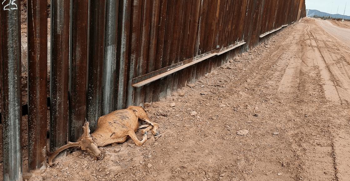 Qué tristeza: Murió un venado por no poder cruzar el muro entre México y Estados Unidos