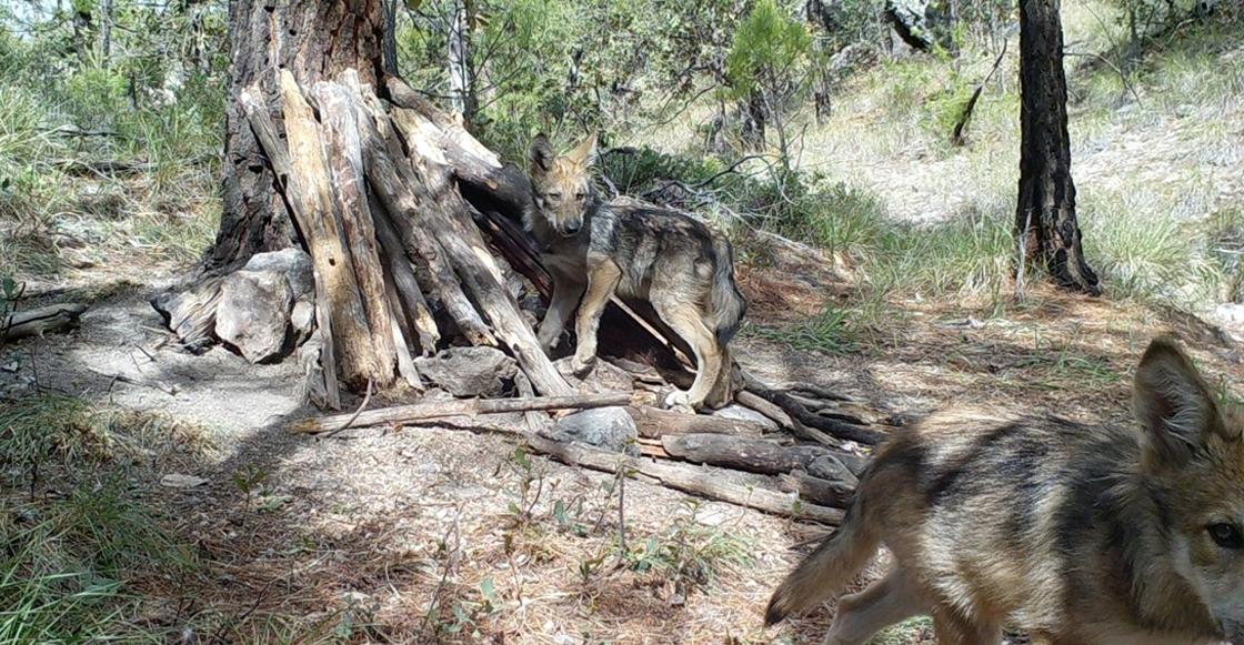 nacimiento-lobos-mexicanos-chihuahua-conanp
