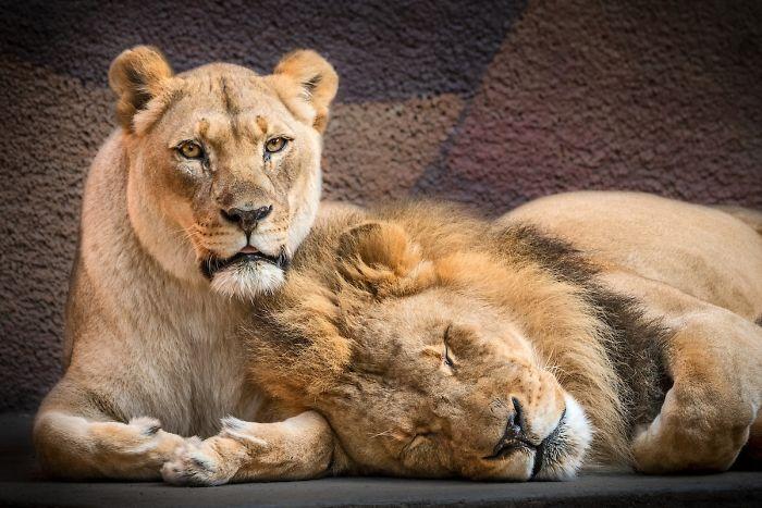Siempre juntos: Sacrifican al mismo tiempo a una pareja de leones por problemas de salud