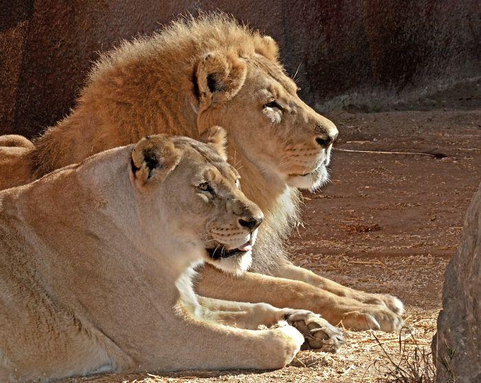 Siempre juntos: Sacrifican al mismo tiempo a una pareja de leones por problemas de salud ??