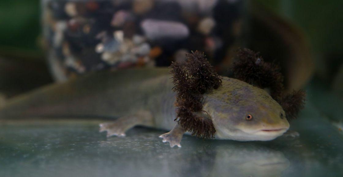 axolotes-museo-cdmx-zoologico-chapultepec
