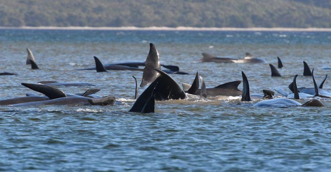 ballenas-piloto-mueren-australia
