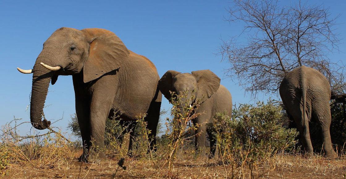 elefantes-aplastan-cazador-furtivo-sudafrica