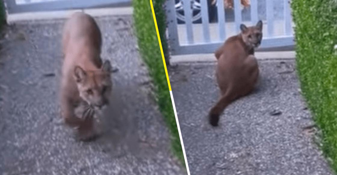 Puma es grabado acechando a niños en un vecindario de California