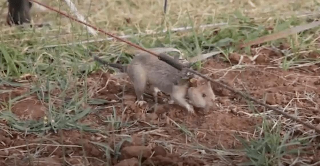 rata-camboya-minas