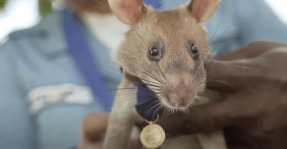 rata-condecorada-minas-camboya