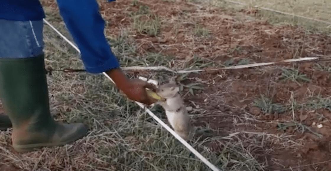 rata-minas
