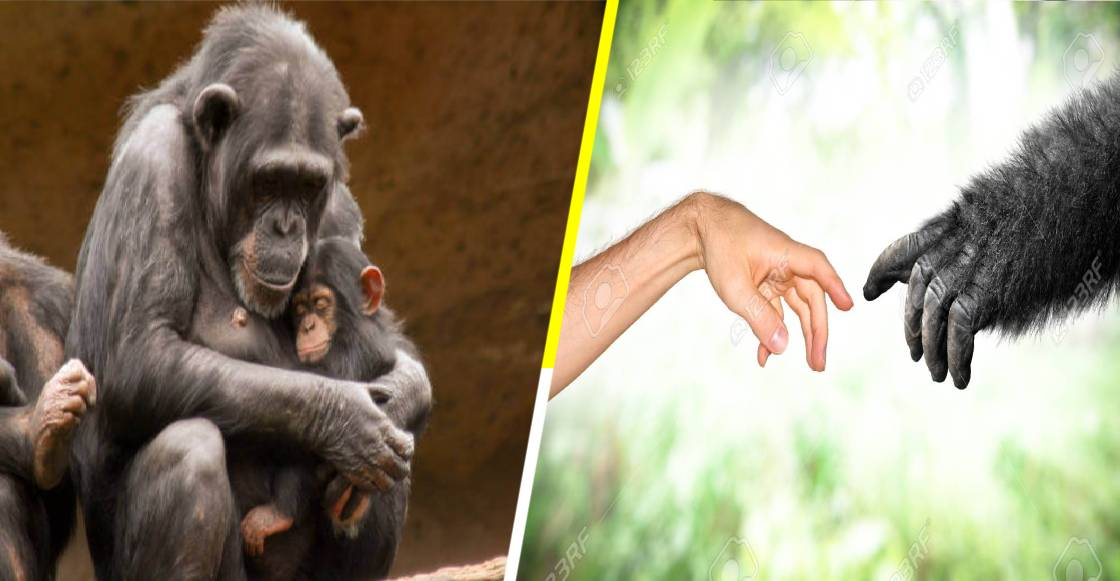 El país de los simios: Suiza vota para que los monos tengan derechos constitucionales