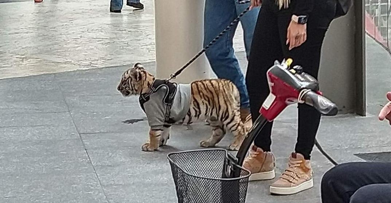 tigre antara polanco1