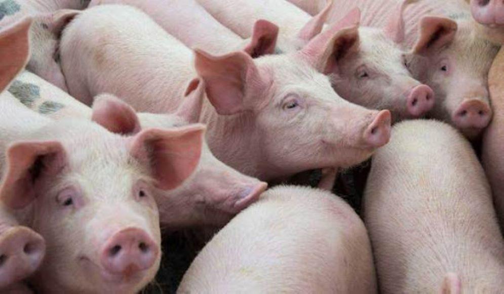 ¡Ay, no! Sudcorea sacrifica a 1,500 cerditos para contener un brote de peste porcina