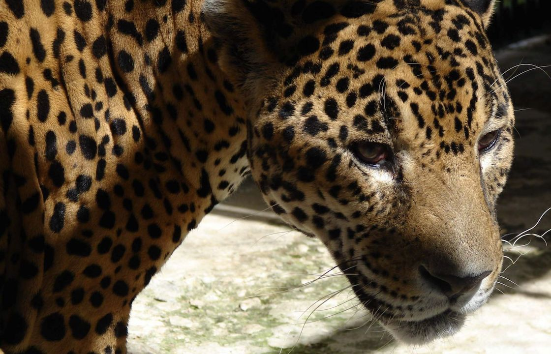 jaguar-campeche