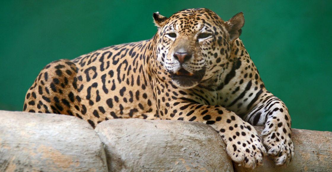 matan-jaguar-brasil