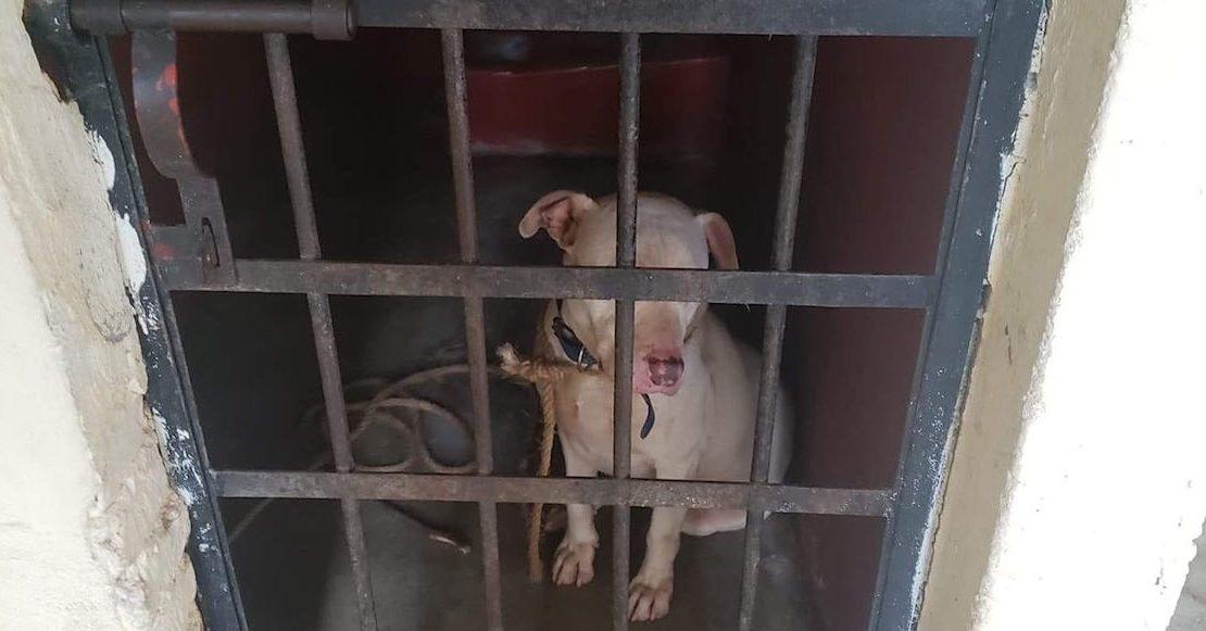 ¡No lo sacrificaron! Liberan y dan en adopción al pitbull encarcelado en Oaxaca