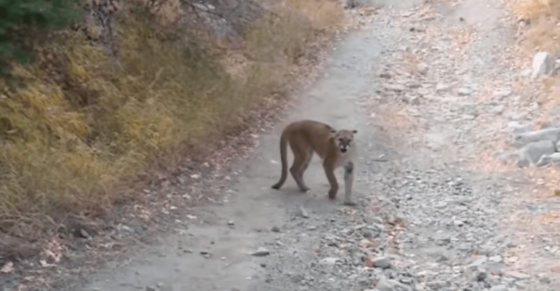 puma-video-hombre-persigue-utah-acecha-viral-minutos-largo-nervios-03