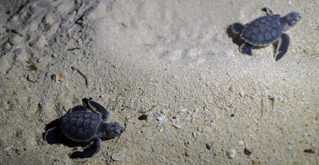 tortugas-extincion-sonora
