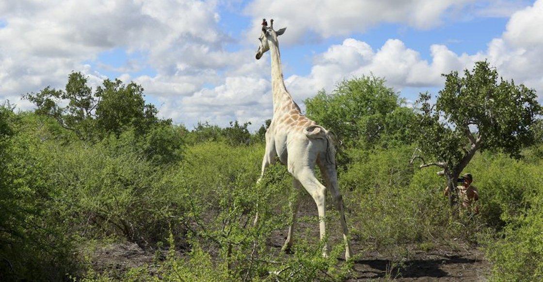 jirafa-blanca-gps-cazadores