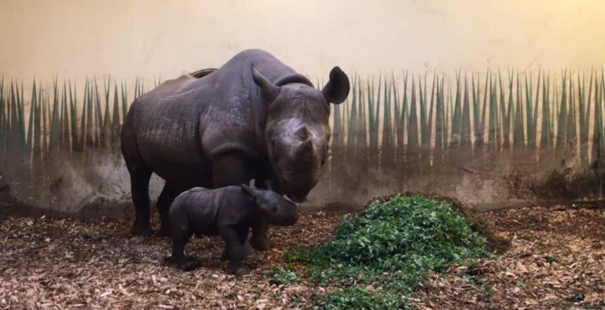 ¡No todo está perdido! Nace rinoceronte negro en Países Bajos