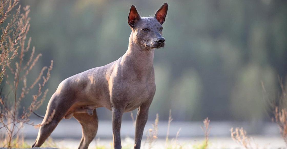 xolo-mascota-cdmx-patrimonio-cultural-senado-xoloitzcuintle-01