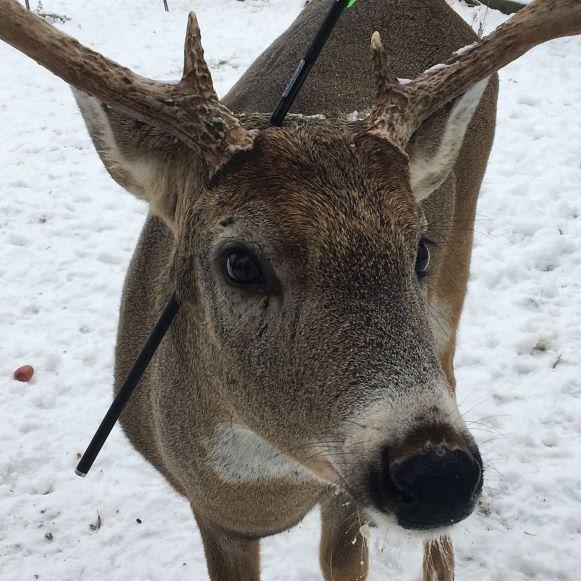 El rescate de Carrot: El venado que vivía con una flecha atravesada en la cabeza