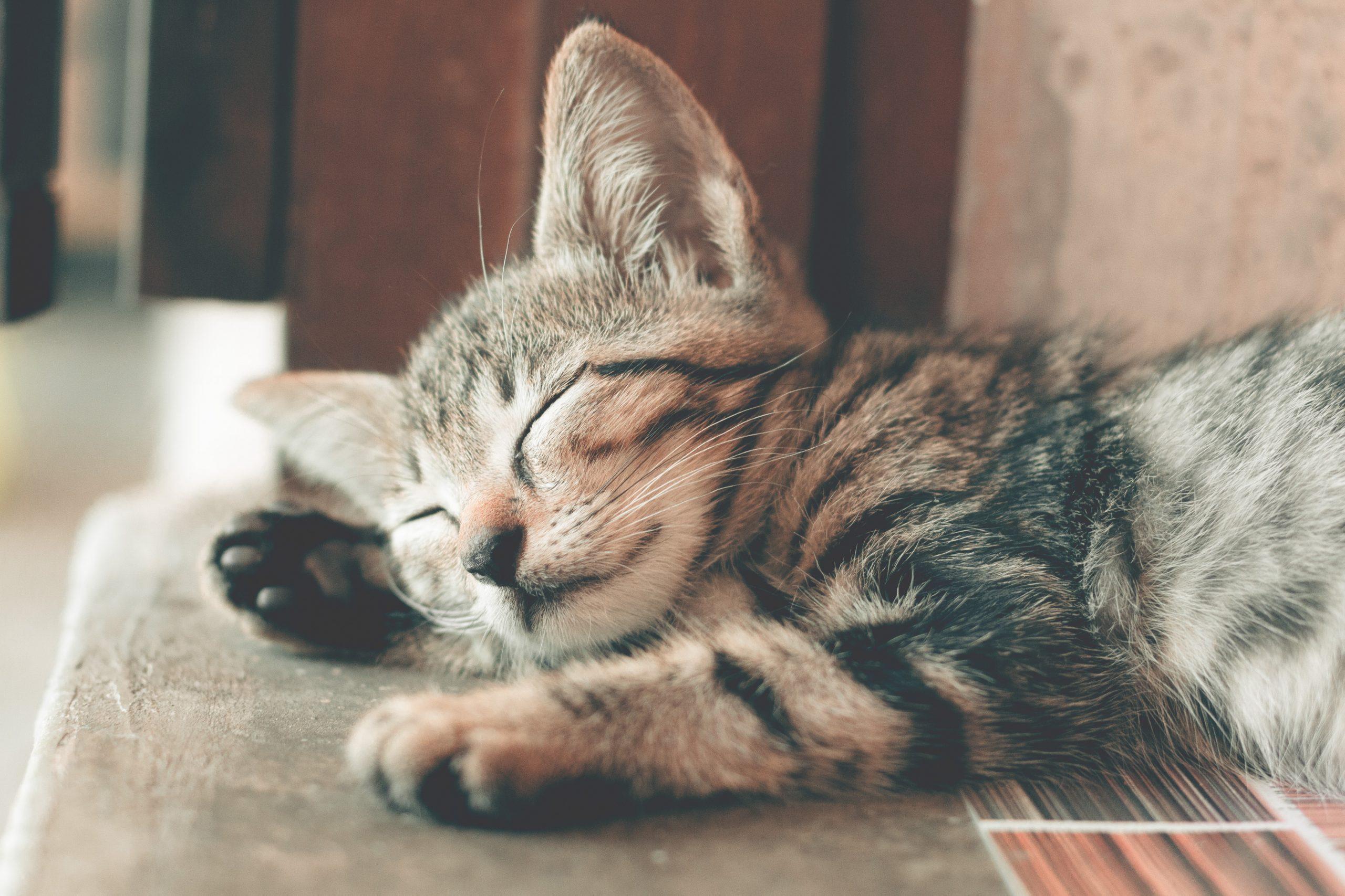 Kiki: La gatita que se perdió y pudo regresar a casa después de siete años