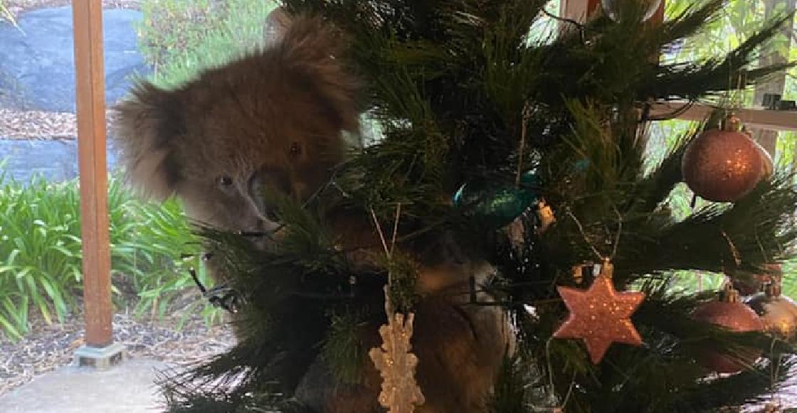 Una familia de Australia se encuentra un koala en su árbol de navidad