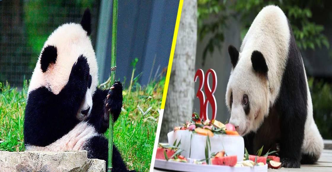¡Llévame a mí! Murió 'XinXing', el panda más longevo del mundo