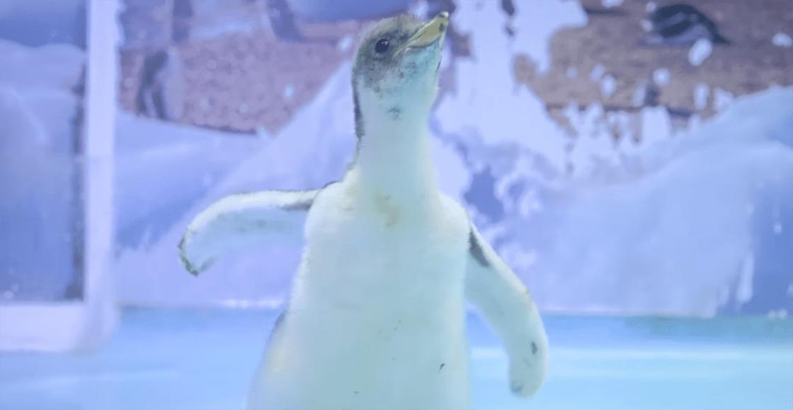 Owww: Conoce a Alex, el primer pingüino gentoo orgullosamente chilango
