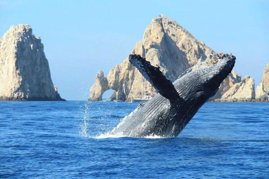 ¡Llegaron las ballenas! Te decimos cómo viajar a Los Cabos ahorrando