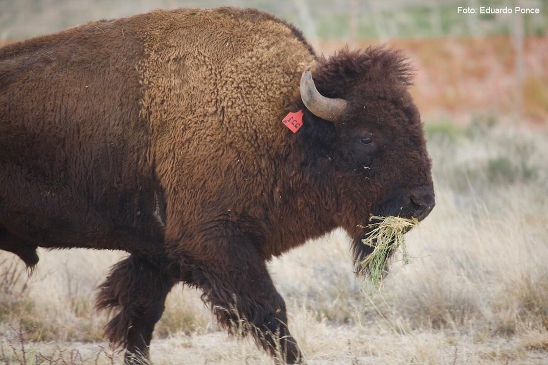 bisonte-americano-coahuila-conanp