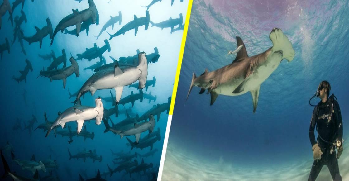 El aterrador momento en el que una turista se ve rodeada de tiburones martillo