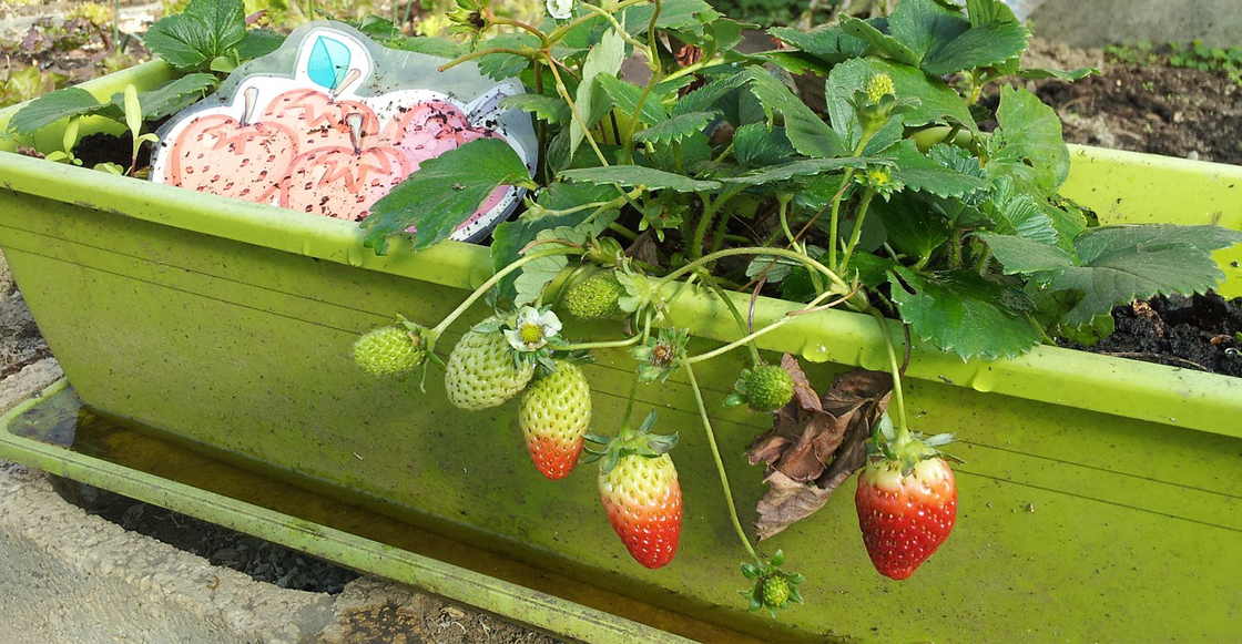 fresas-huerto-casa