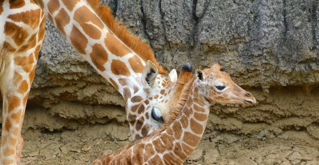 jirafa-bebe-nombre-chapultepec