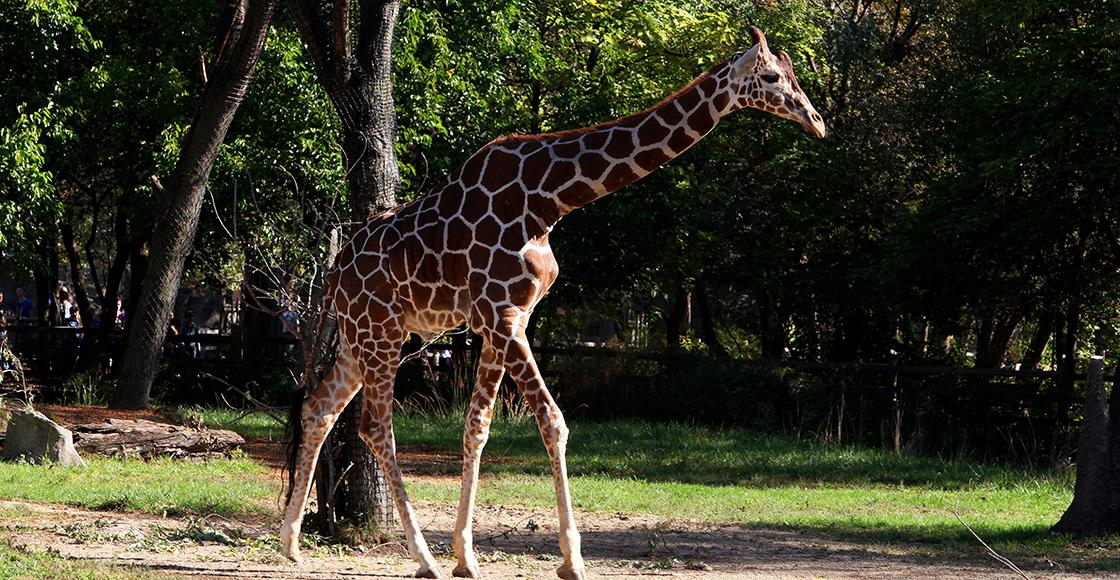 """Mundo enfermo y triste: Mujer mata a una jirafa para """"ayudar"""" a las especies en peligro de extinción"""