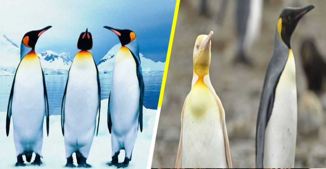 ¡Sonrían y saluden! Descubren al único pingüino amarillo en el mundo
