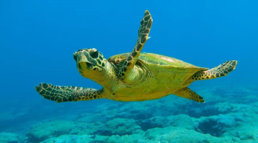 La inusual estrategia para salvar a las tortugas marinas con mayonesa