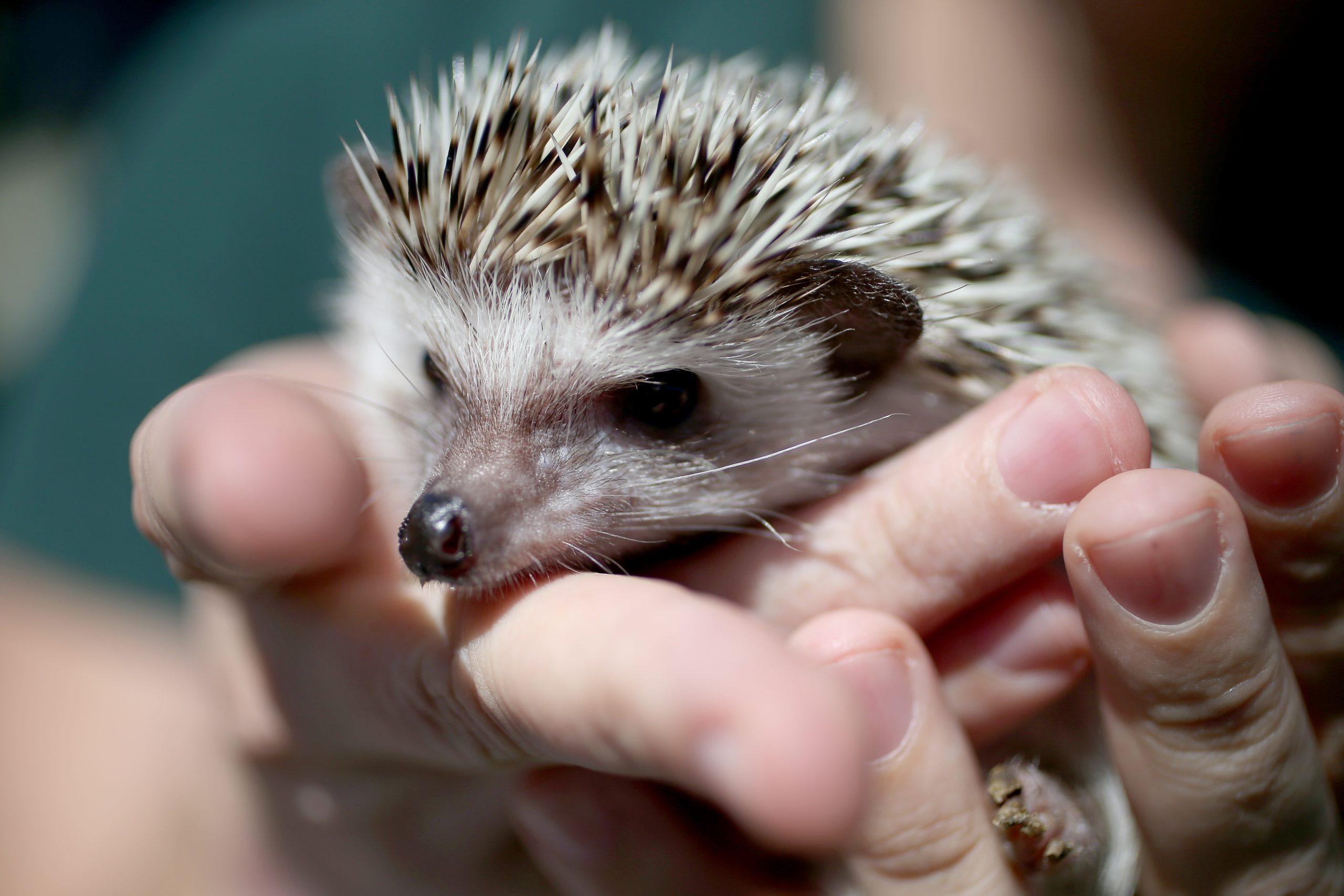 No lo notarán: Zoológico reemplaza a un pequeño erizo con un cepillo