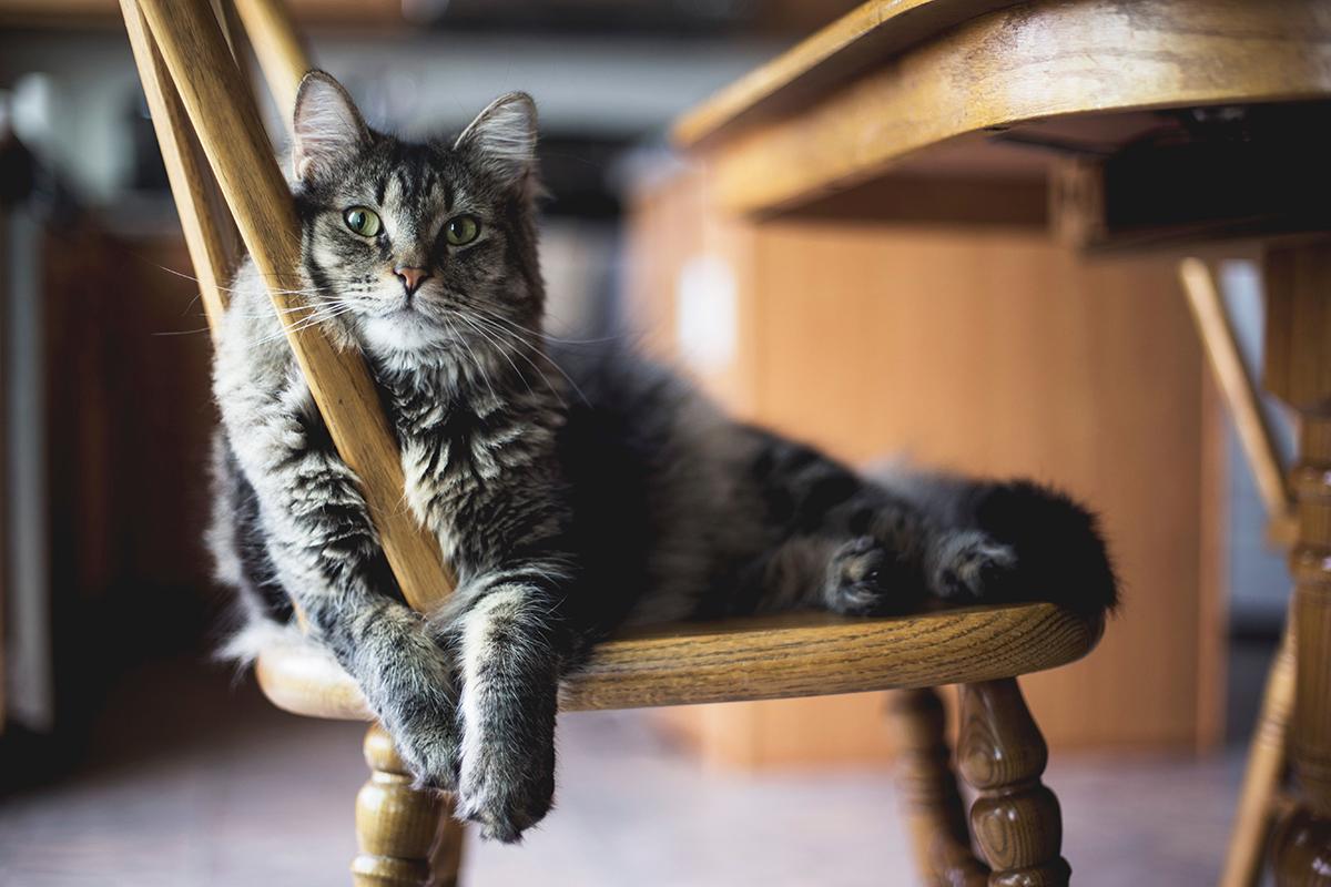 Gato en una silla descansando